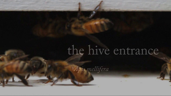 This film is a continuous pan across a busy hive entrance.Urbana, Illinois, USA